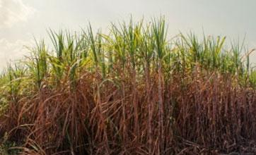 This Genetically Modified Sugarcane Could Pump Out Cheaper Biodiesel