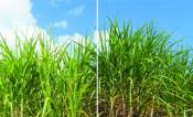 "Grant helps project realize ""ultra-productive"" biofuel crops, attract investors"